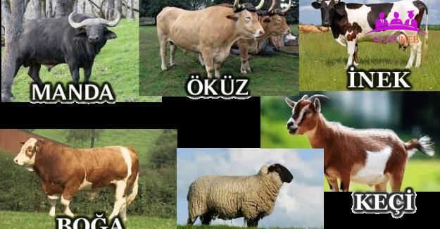 Koyun ve Keçi Türü ve Sığır Cinsi Hayvanları İlgilendiren Yönetmelikte Değişiklik
