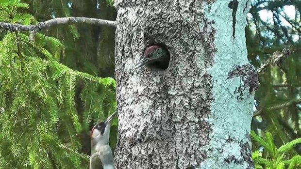 Yavrusunu Besleyen Ağaçkakan