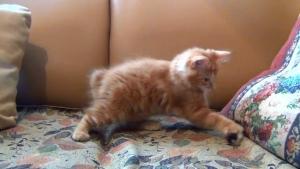 Oyuncağı İle Oynayan Sevimli Kedi